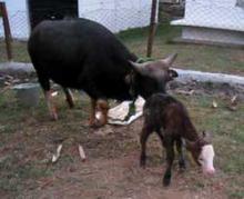 First Embryo Transfer Mithun Calf (Bharat)