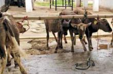 Implementation of Cent Percent Artificial Insemination in the Institute Mithun Farm