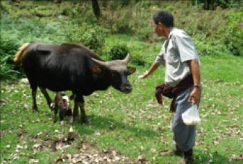 First Mithun calf born through Artificial Insemination